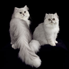 Animal Images two Persian cats
